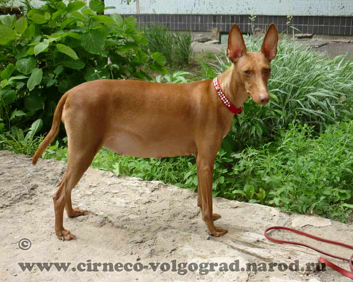 pictures of pregnant cirneco
