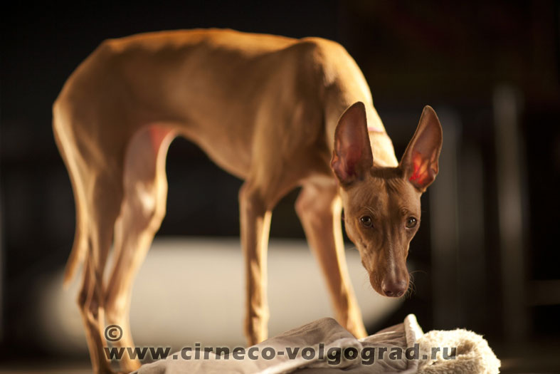 cirneco dell etna . Dogs of the kennel