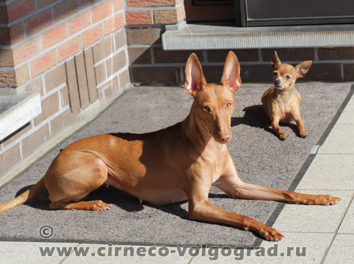 cirneco dell etna pictures