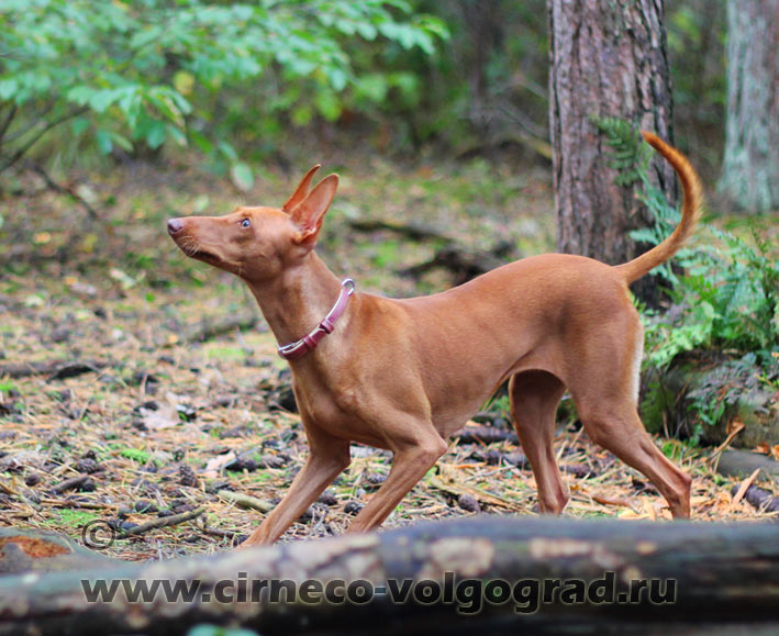pictures of cirneco dog