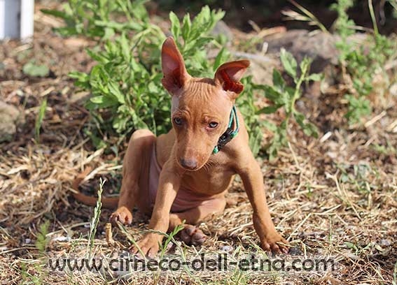 cirneco dell'etna puppy 7 weeks old