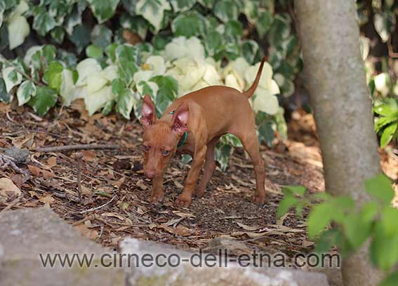 cirneco dell'etna puppy 8 weeks old