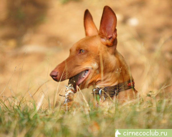 pictures of cirneco male