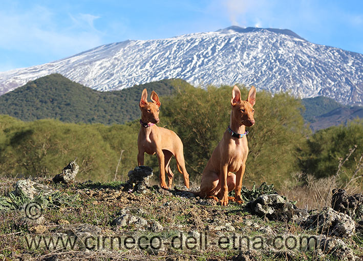 cirneco dell'etna puppies