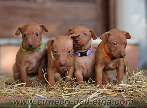 Cirneco puppies for sale