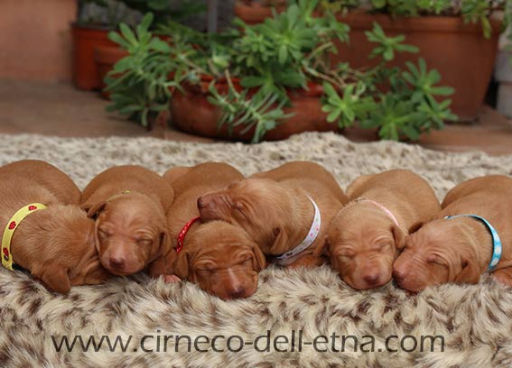 cirneco dell etna puppies for sale