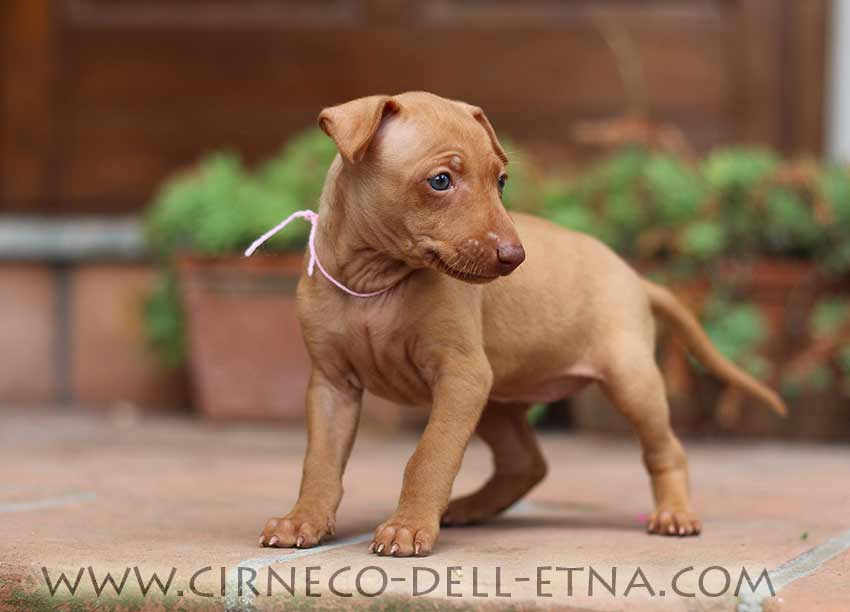 cirneco dell'etna puppy 4 weeks old
